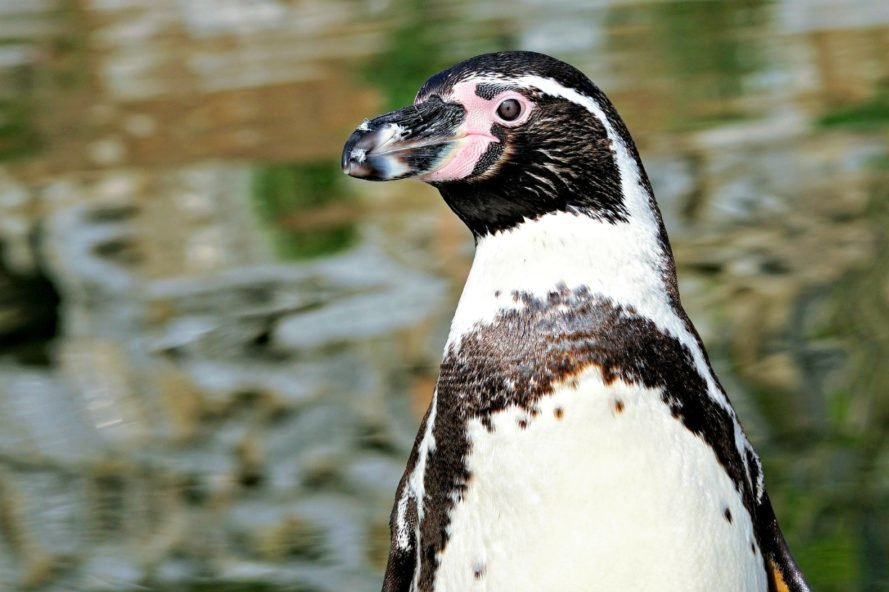 Chile, The Dominga Project, mining, ecological destruction, environment, Humboldt penguin, nature reserve, habitat, mining,