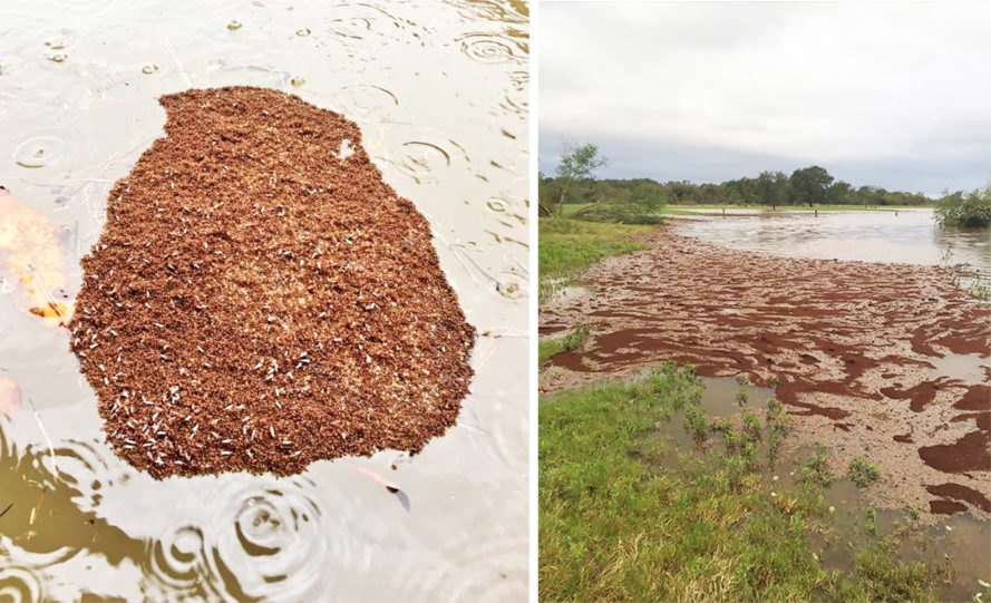 Fire ants, fire ant, ant, ants, insect, insects, nature, raft, rafts, floating, flood, floodwaters, Harvey, Hurricane Harvey, Tropical Storm Harvey, Texas, Houston