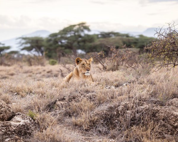 Leonardo DiCaprio, Leonardo DiCaprio Foundation, Leo DiCaprio, Wildlife Conservation Network, Lion Recovery Fund, Africa, lion, lions, lion population, lion populations, wildlife, wildlife conservation, animal, animals