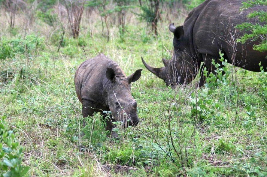 Rhino Horn Auction, John Hume, rhino, rhinos, rhino horn, rhino horns, South Africa, auction, online auction, animal, animals, sustainable utilization, conservation, poaching