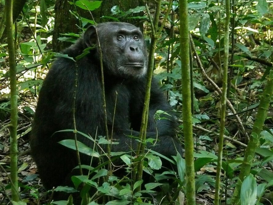 Kibale National Park, Uganda, Africa, animal, animals, chimpanzee, chimpanzees, baboon, baboons, ape, apes, conservation, pesticide, pesticides, environment