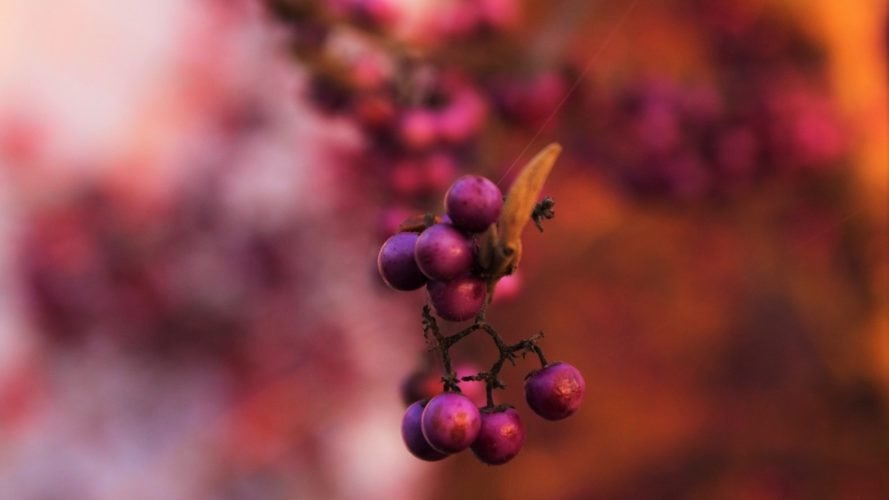 pink berries, nature, dyeing, natural dye