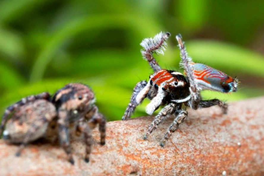Australia, Dr. Jurgen Otto, David Hill, peacock spider, scientific discovery, nature, environment, wildlife,