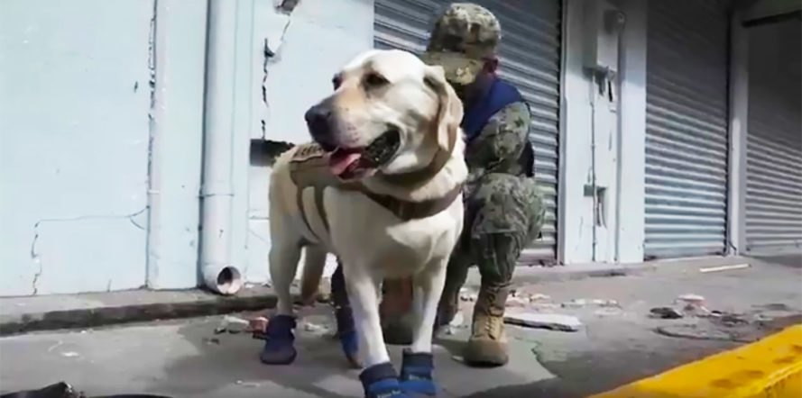 Frida, Mexico, Mexico City, dog, dogs, Labrador, Labradors, rescue dog, rescue dogs, animal, animals, earthquake, earthquakes, natural disaster, natural disasters, rescue, Canine Unit