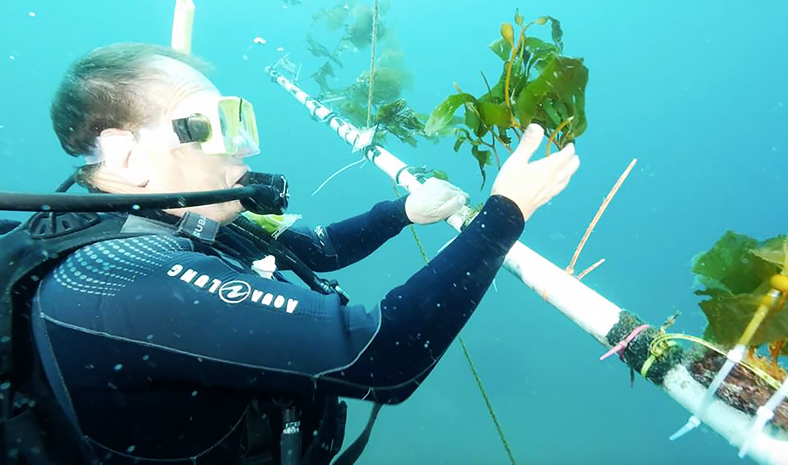 Startup is developing kelp farms in the open ocean to make carbon-neutral biofuel