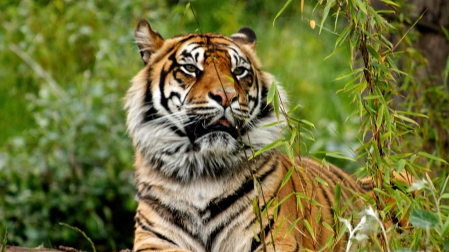 tiger, tiger reintroduction, Sumatra tiger