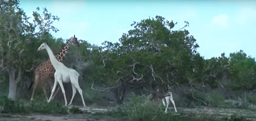 Hirola Conservation Program, Rainforest Trust, Kenya, giraffe, giraffes, white giraffe, white giraffes, mother, baby, leucism, leucistic giraffe, leucistic giraffes, animal, animals, wildlife