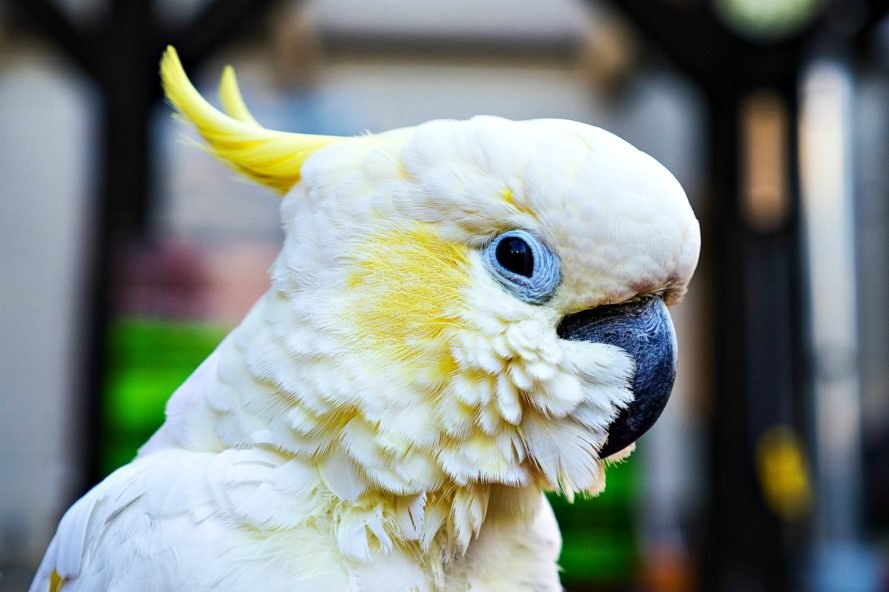 captivity, wild birds, language, science, wildlife, cockatoos, parrots, Australian Geographic,