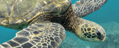 sea turtle, ocean, conservation, wildlife, nature, environment, science advances, poaching, activism,
