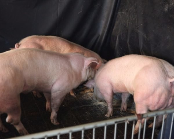 pigs, genetic engineering, genetically engineered pigs