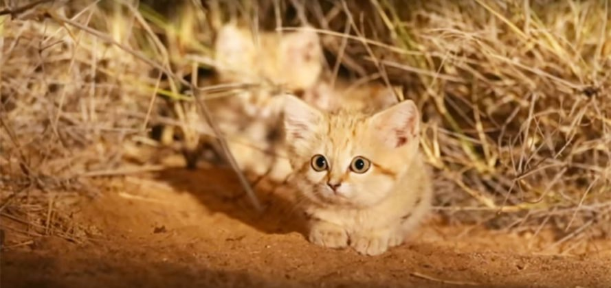 Sand cat, sand cats, sand cat kittens, sand cat kitten, cat, cats, kitten, kittens, animal, animals, wildlife, desert, Moroccan Sahara, Sahara, Sahara Desert, nature