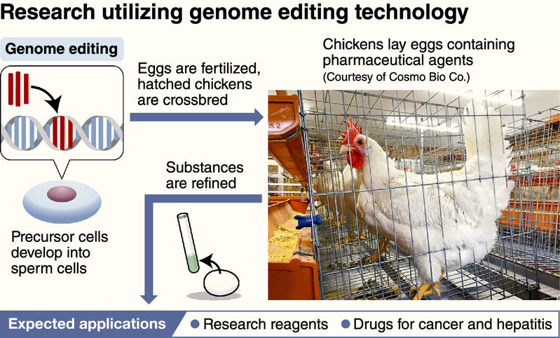 Japanese mutant chickens are laying eggs filled with cancer-fighting drugs