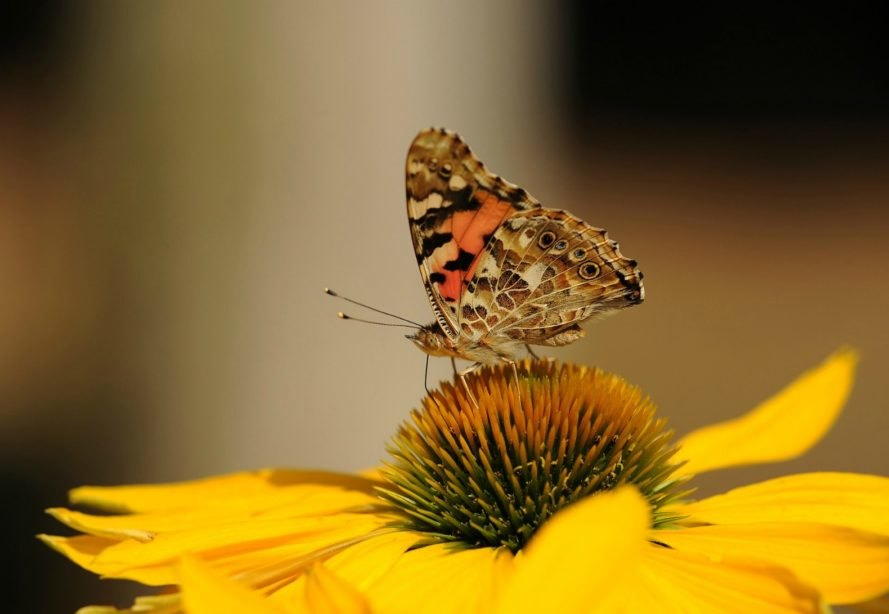Denver, Colorado, painted lady butterfly, monarch, environment, nature, migration, conservation, travel,