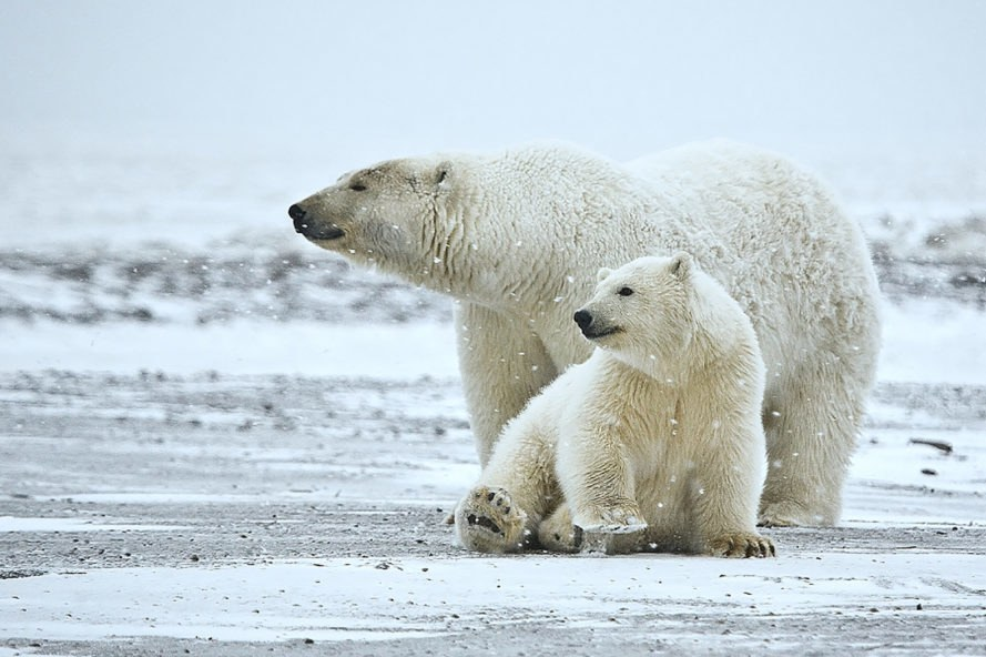 Alaska, Arctic, Arctic National Wildlife Refuge, Arctic drilling, Arctic oil, environment, polar bear, polar bears, wildlife, wildlife refuge, Alaska wildlife, Arctic wildlife, animal, animals