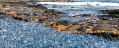 Australia, Barlings Beach, Brett Wallensky, bluebottle, bluebottles, Portuguese man o