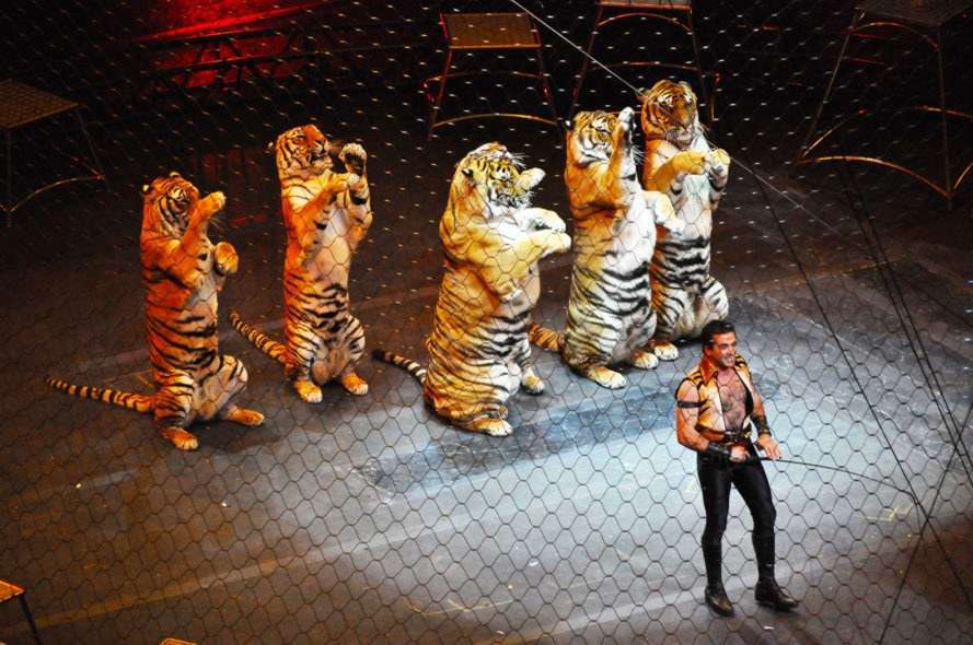 Circus, circuses, circus animal, circus animals, performing animal, performing animals, tiger, tigers, circus tiger, circus tigers, traveling shows, circus shows, animal rights