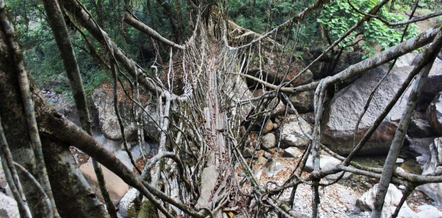living root bridges, India root bridges, rubber tree bridges, Patrick Rogers, root bridge