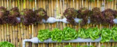 Hydroponic, hydroponics, hydroponically grown, hydroponic produce, hydroponic vegetables, hydroponic veggies, hydroponic lettuce, vegetables, veggies, lettuce, produce, food, organic, organically grown, organic produce, organic vegetables, organic veggies, organic lettuce, agriculture
