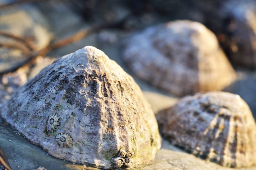 limpets, snails, ecology, oceans, intertidal