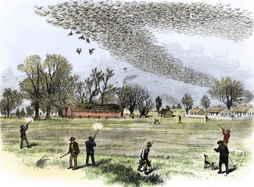 passenger pigeon, what killed passenger pigeons, how did passenger pigeons become extinct, passenger pigeons extinction, extinction, pigeons, animal extinction, mass extinction, Beth Shapiro, University of California Santa Cruz, passenger pigeon martha, passenger pigeon facts,