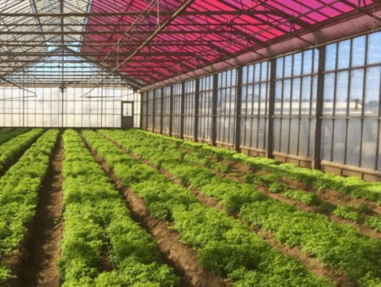These Magenta Greenhouses Grow Plants Faster While