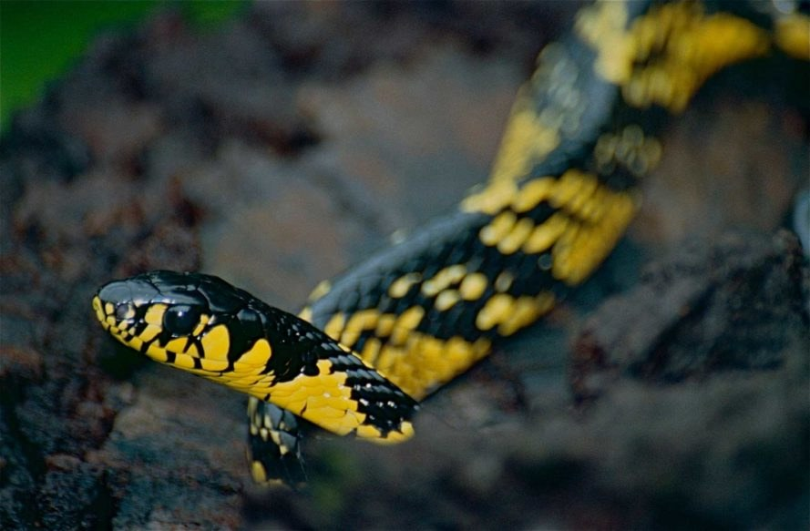 Tropical Rat Snake