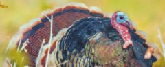 Turkey, turkeys, bird, birds, poop, poo, excrement, poop energy, poop power, poop fuel, poo energy, poo power, poo fuel, alternative fuel, alternative energy, energy