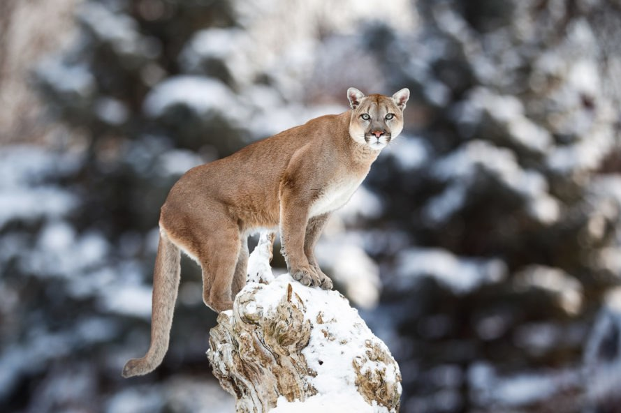 Cougar, cougars, mountain lion, mountain lions, Colorado, animal, animals, wild animals, wild animals, wildlife, M-44, M-44s, cyanide, cyanide bomb, cyanide bombs, Wildlife Services