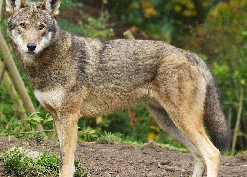 Critically Endangered Red Wolf May Be Forced Into