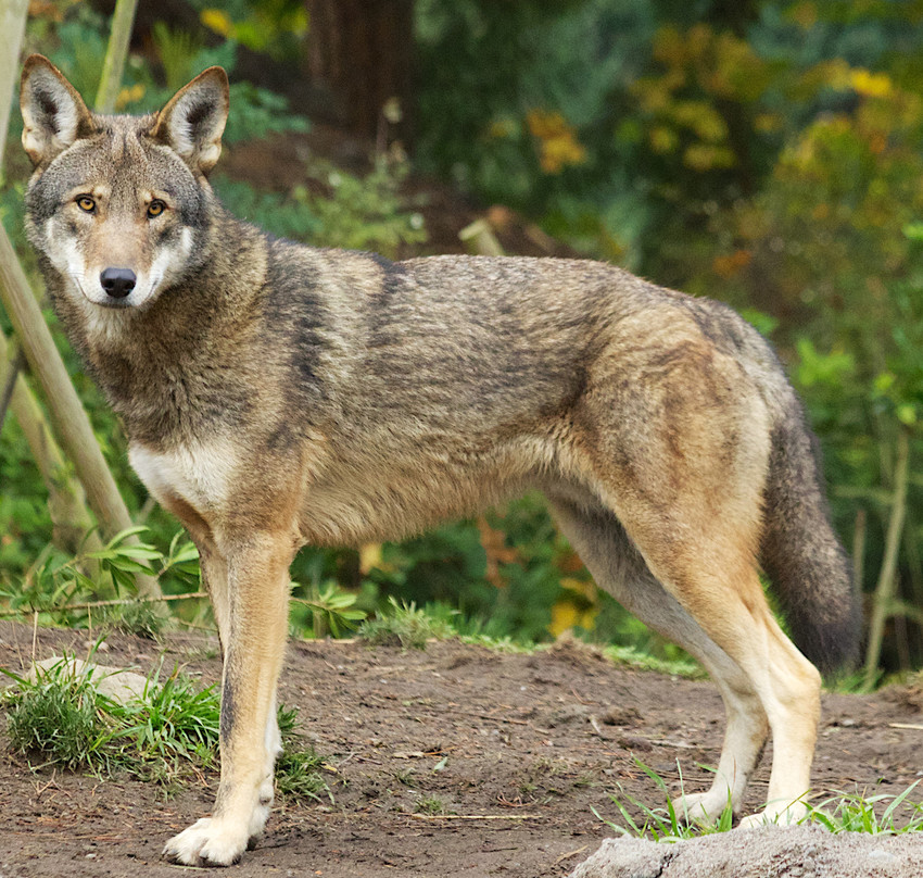 red wolf, endangered red wolf, endangered species, critically endangered species, critically endangered red wolf