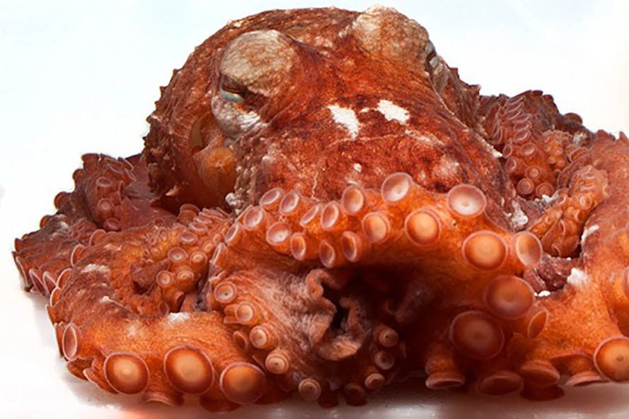 Frilled giant Pacific octopus, giant Pacific octopus, octopus, octopuses, octopi, cephalopod, David Scheel