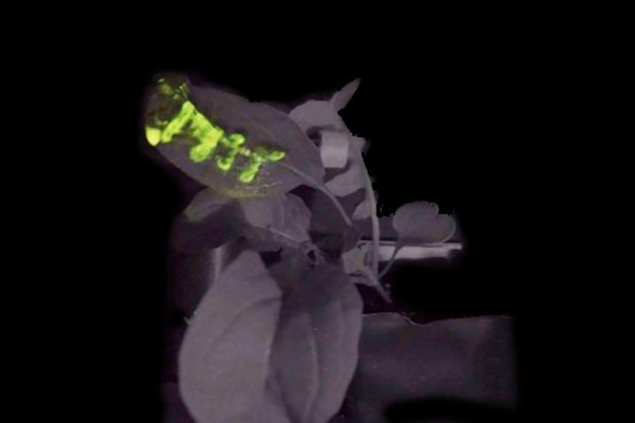 Massachusetts Institute of Technology MIT glowing plant glowing plants nanoparticles luciferase plant plants