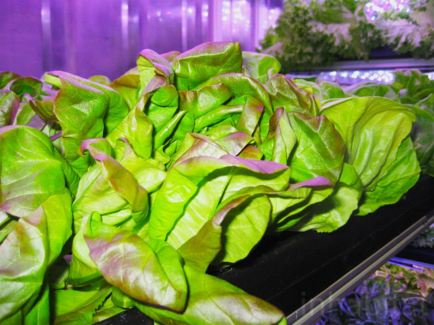 Local Roots, TerraFarm, vertical farm, vertical garden, indoor farm, lettuce, produce