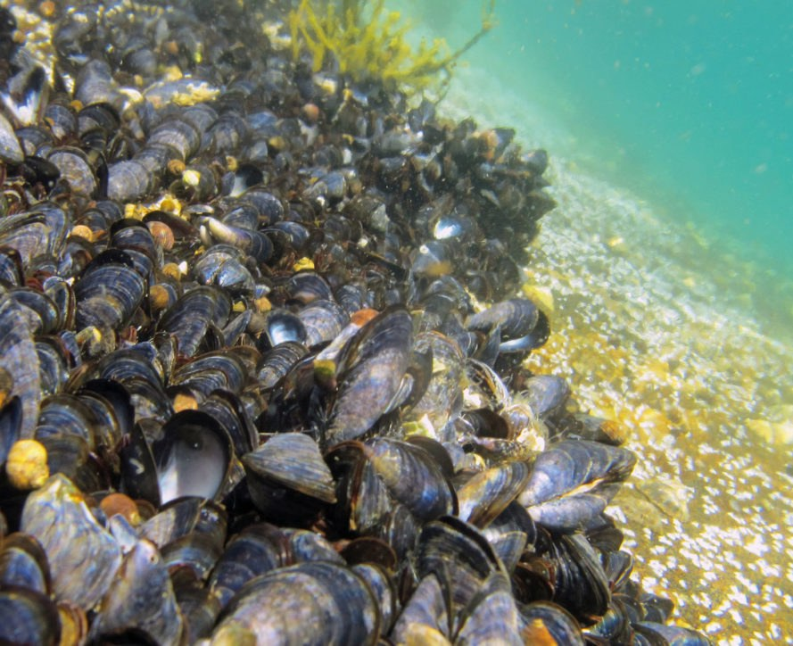 Norwegian Institute for Water Research, NIVA, mussel, mussels, marine life, marine creatures, ocean