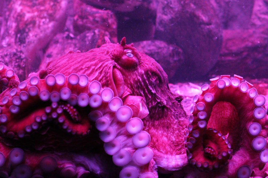 North Pacific Giant Octopus, giant Pacific octopus, octopus, cephalopod, aquarium, octopuses, octopi