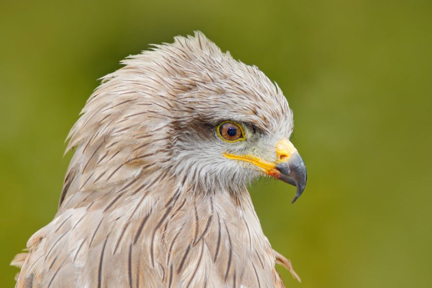 Black kite, Milvus migrans, bird, birds, birds of prey, head, beak