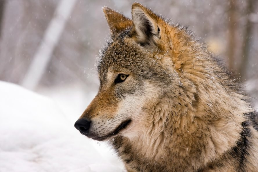 wolf, wolves, snow wolf, wolf in the snow, European wolf