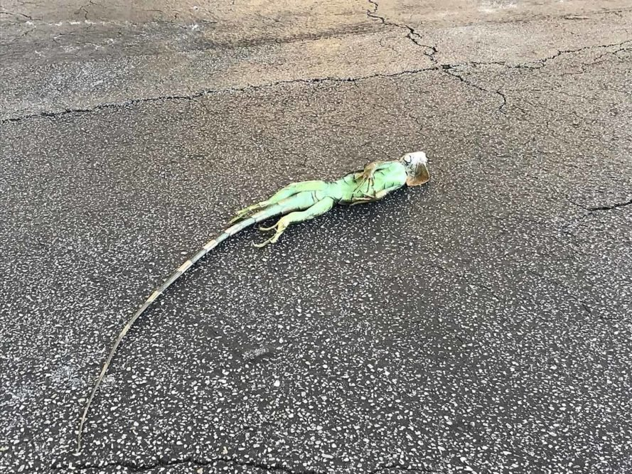 Frozen iguanas falling from trees in Florida