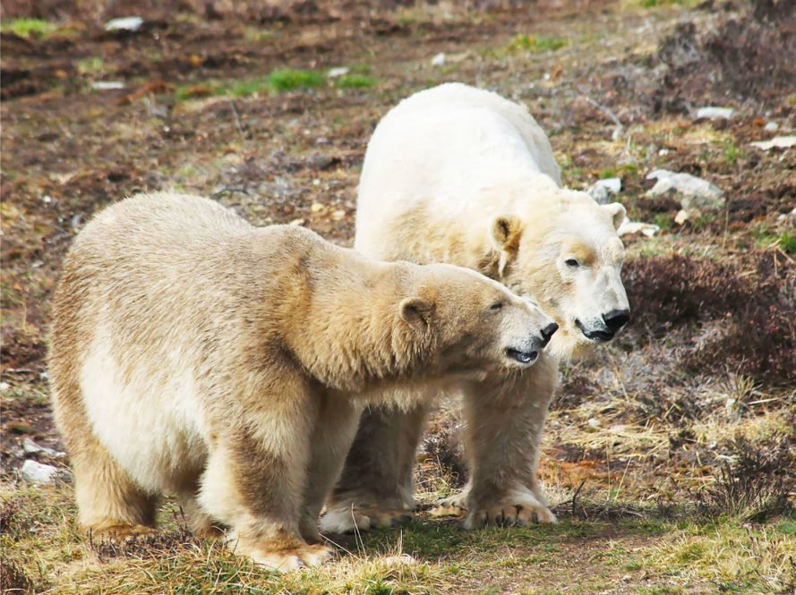Highland Wildlife Park, Scotland, polar bear, polar bears, wildlife, animals