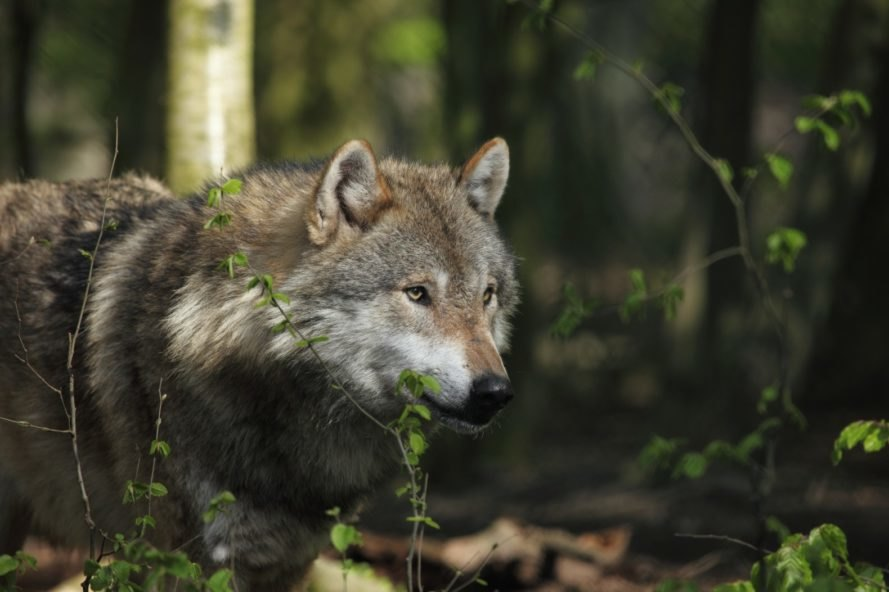 wolf, forest wolf, wolf in the forest, woods wolf, European wolf