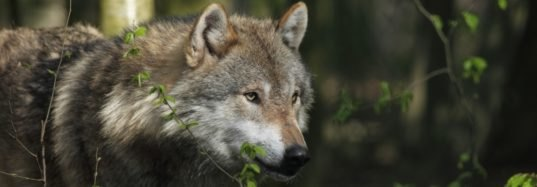Adventuring Naya becomes first wolf sighted in Belgium in a century