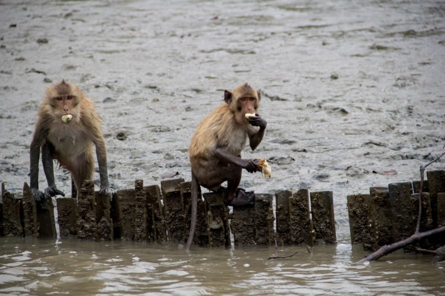 macaques, monkeys, long-tailed macaques, macaques in the wild