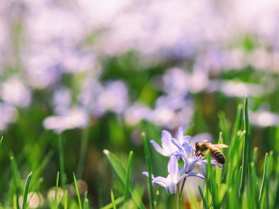 Spring, flower, bee, honeybee, insect, nature