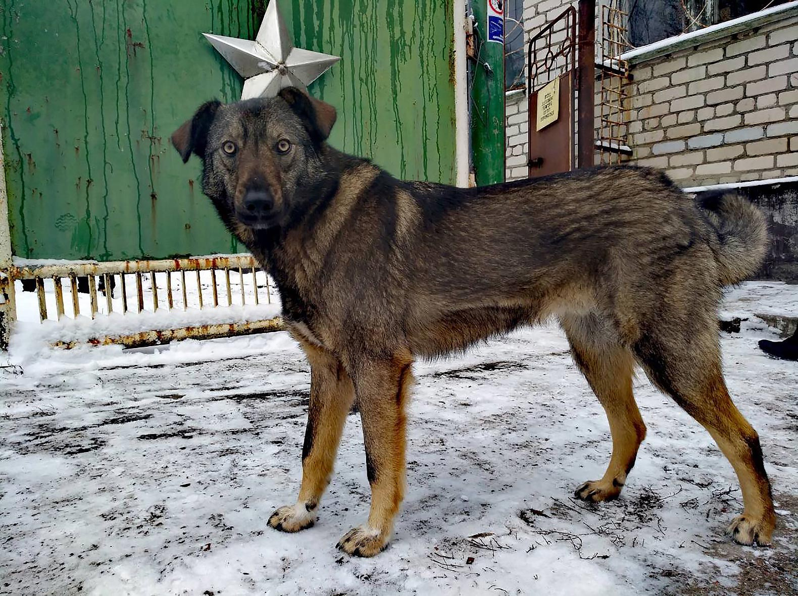 Chernobyl's abandoned dogs create their own exclusion zone community