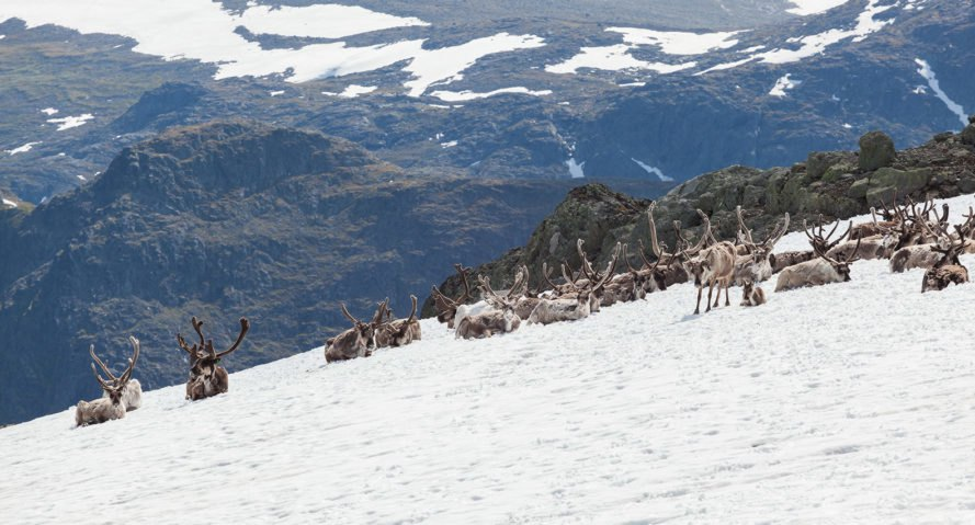 Reindeer, Besseggen, Norway, mountain, animals, snow