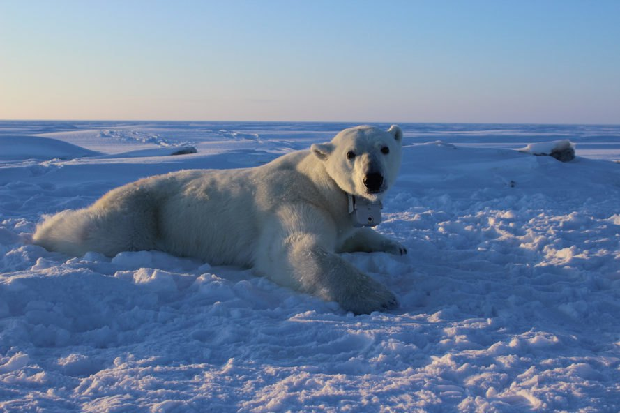 Polar bear, bear, sea ice, GPS collar, video-camera collar, polar bear research