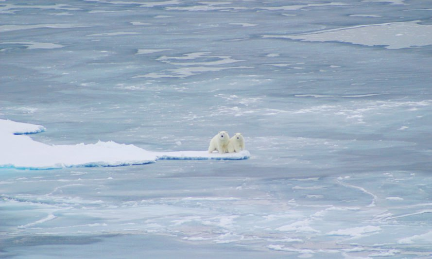 Polar bear, polar bears, animals, sea ice, Arctic sea ice, Arctic Ocean, Arctic