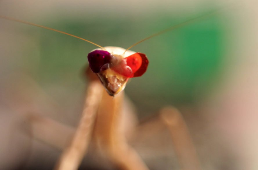 Praying mantis, mantis, insect, 3D, 3D glasses, vision, research