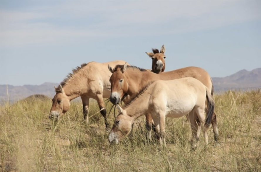 Przewalski's horses, Przewalski's, wild horses, feral horses, domesticated horses, horse domestication, horse DNA, DNA research, are there any wild horses left, the last wild horses on earth, no more wild horses on earth, Botai horses, Botai people, horse origins, Sandra Olsen, Ludovic Orlando