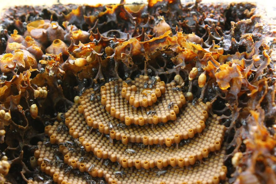 Tetragonula carbonaria, sugarbag bee, spiral beehive, spiral hive, unique beehive, animal architecture, beehive, native bees, native australia bees, australia bees,